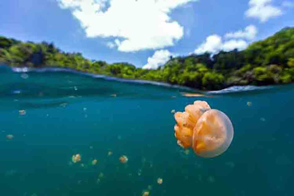 Jellyfish poison